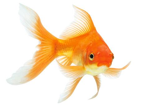 Le poisson médiateur malgré lui
