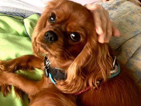 Les premières séances de nos chiens médiateurs