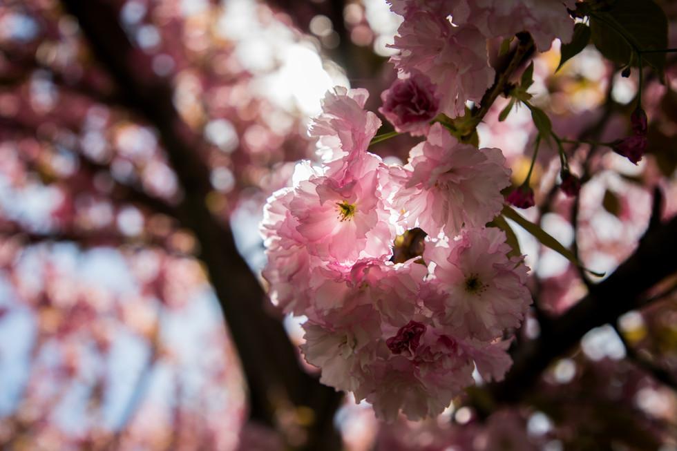 Tom's Cherry Blossoms