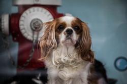 Dog King Charles