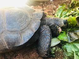 Tortoise-Mr. Grumpy.JPG