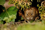 Vole - burrowing rodent.jpg