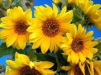 sonnenblumen.jpg