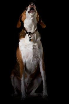 BeagleHowling.jpeg