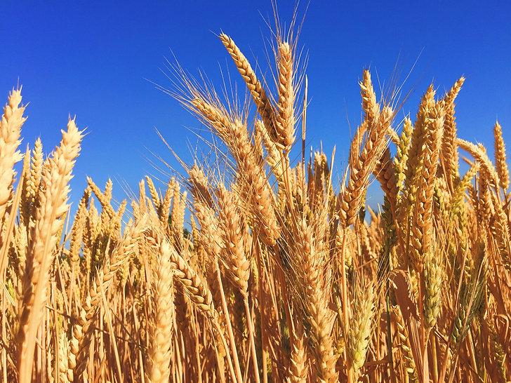 Wheat Field1.jpg