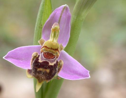 דבורנית הדבורה 044 יפה.jpg