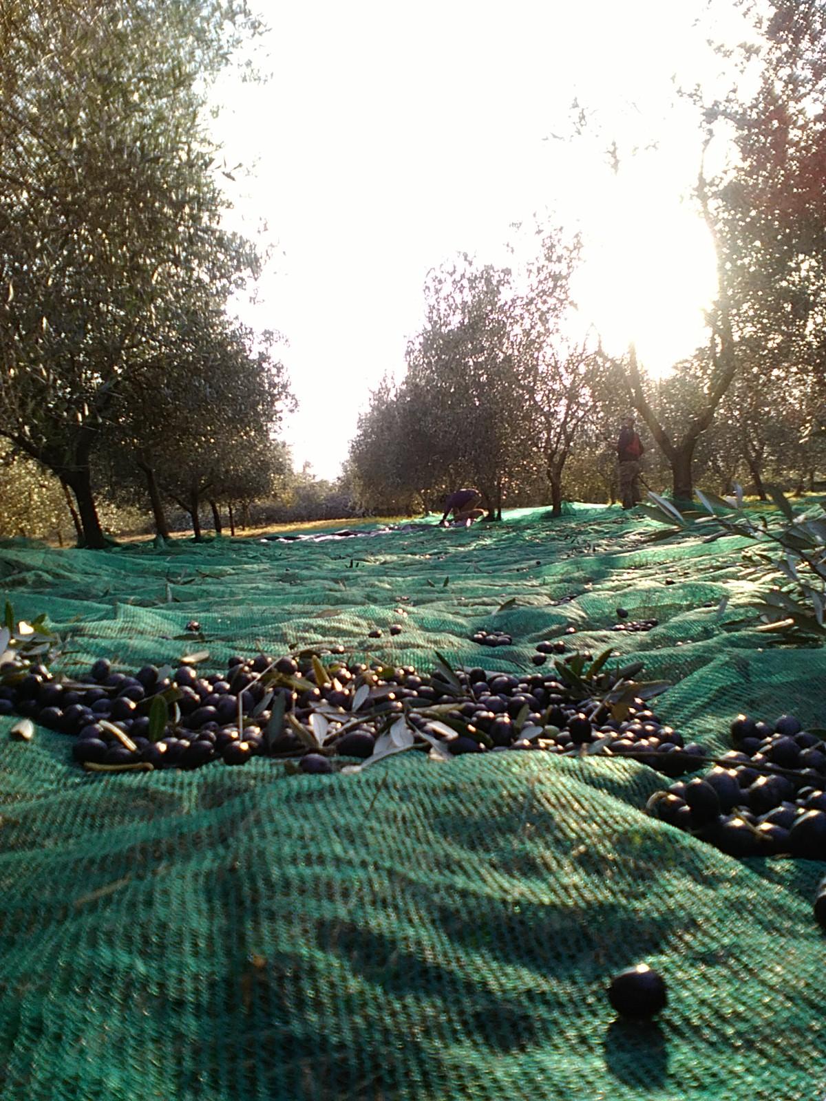 stesa oliveta reti oliveta Torre Doganiera