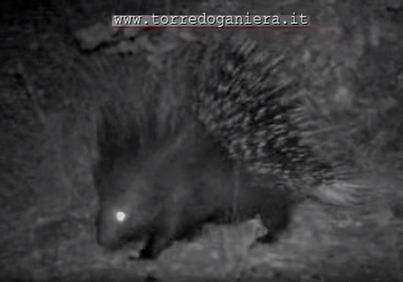 hugeporcupine infrared night vision   visione notturna istrice