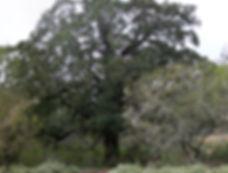 Hog Hunting Ranch Oak Tree Texas