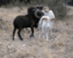 Ram hunt in central texax