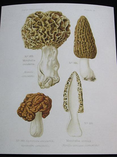 Morchella Esculenta, Morels 8X10 Print