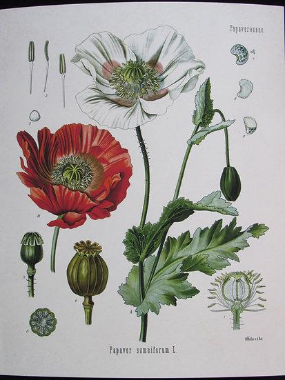 Papaver somniferum L. Opium Poppy 8X10 Print