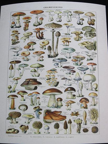Champignons, Mushroom Print 8X10