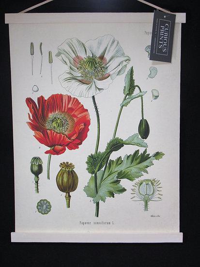 Opium Poppy, Papever Somniferum L. Canvas, 13X17