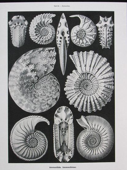 Ammonites 8X10 Print