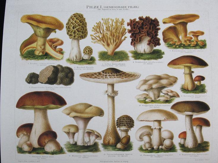 Natural History Mushroom German Pilze 1 8X10 Print