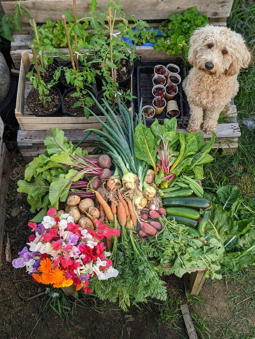 Delicious nutritious vegetables from Emilie's own allotment