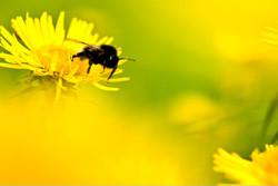 The Bumblebee (MT001)