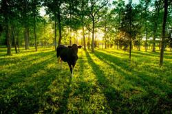 Sunset Cow (MT007)