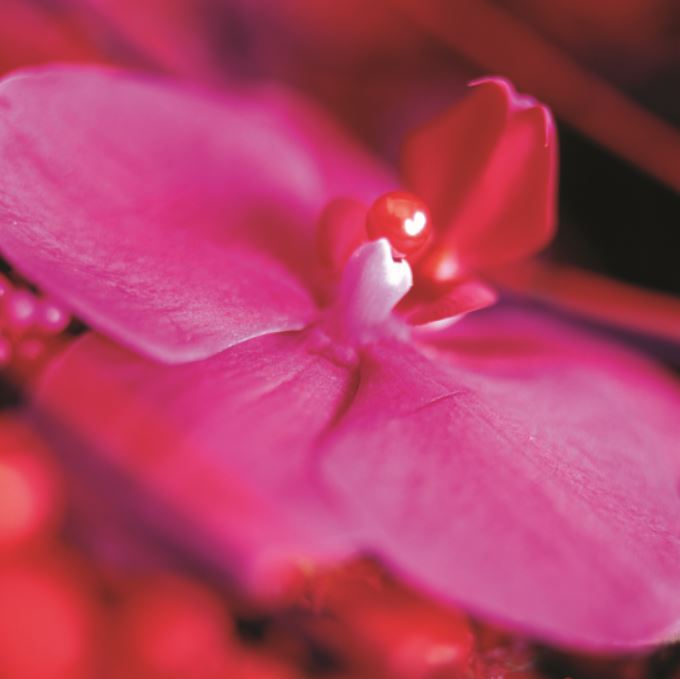 Phalaenopsis (PB002)