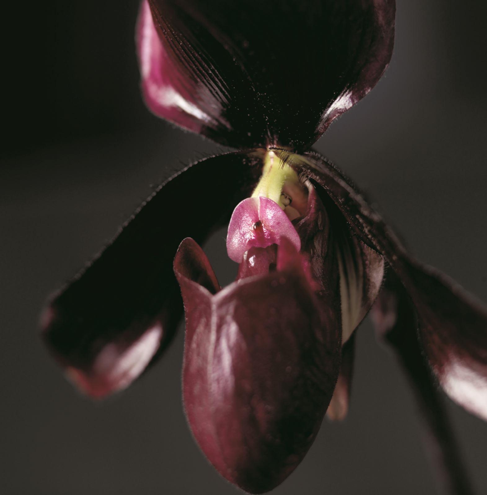 Paphiopedilum (PB011)
