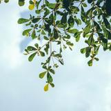 עצי צאלון