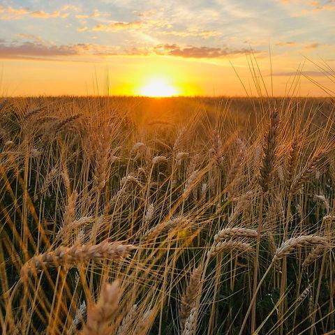 Sonnenuntergang am Weizenfeld