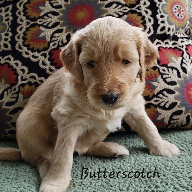 butterscotch.jpg