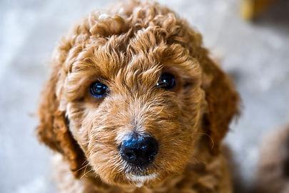 labradoodle puppy dog