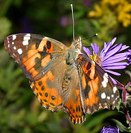 Painted Lady on Aster.jpg