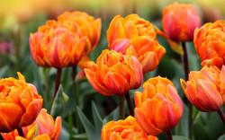 Tulips-orange
