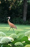 sandhill crane 2b_edited.jpg