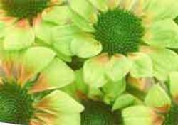 Echinacea - Green envy