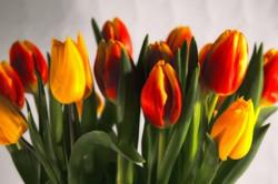 tulips_red_yellow_216579