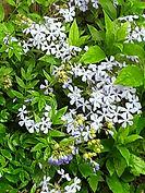 Woodland Phlox.jpg
