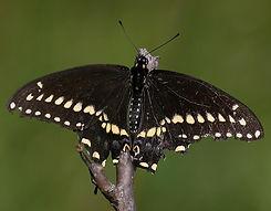 VoloBogBlackSwallowtail.jpg