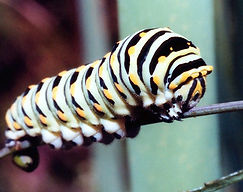 BlackSwallowtailCaterpillar.jpg