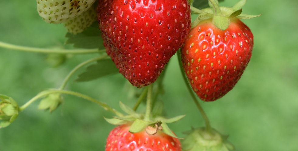 Strawberry Plant- Mara Des Bois