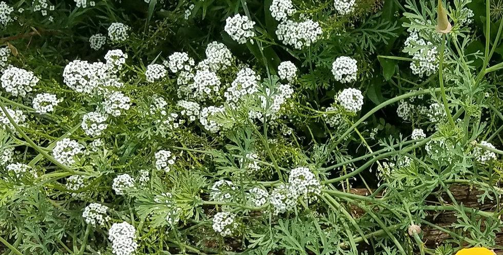 Flowers- Sweet Alyssum