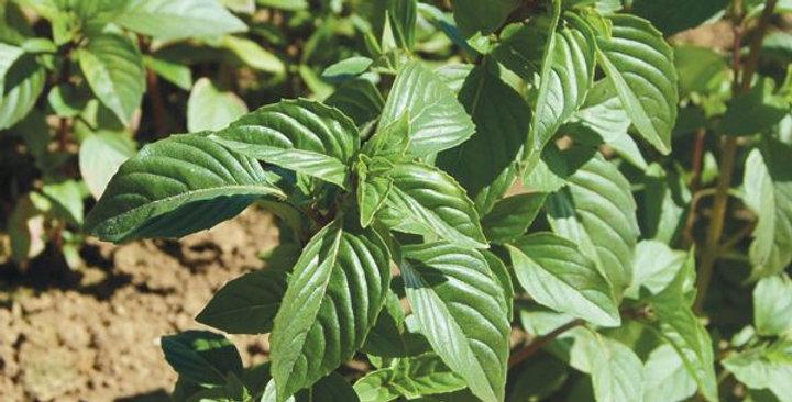 Herbs- Thai Basil