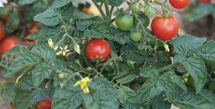 Cherry Tomato- Tiny Tim (Dwarf Variety)