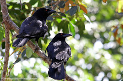White-necked-Crow-DR-IMG_0926