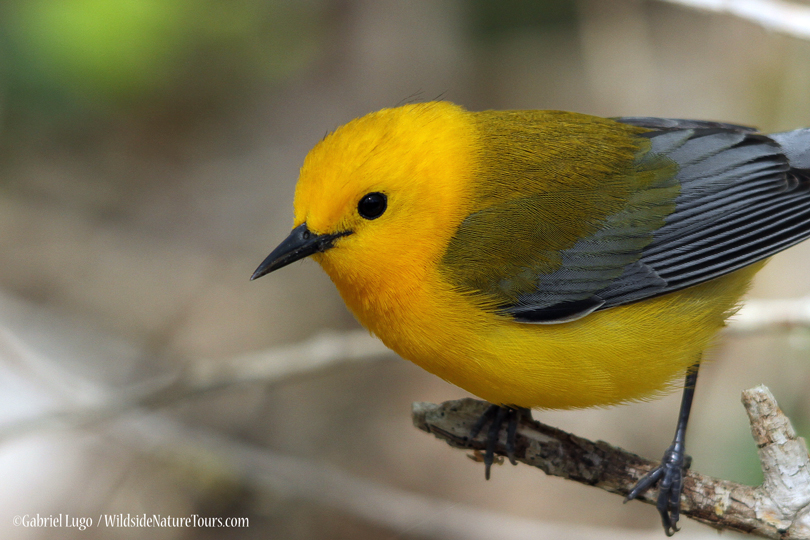 Prothonotary-Warbler-IMG_3535