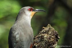Hispaniolan-Lizard-Cuckoo-DR-IMG_1050