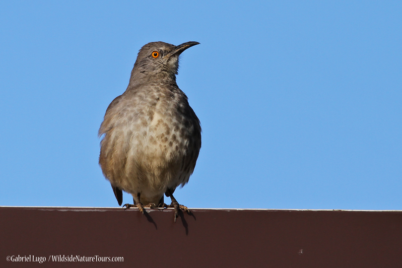 Curve-billed-Thrasher-IMG_0734