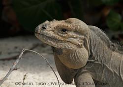 Mona-Iguana-IMG_8779
