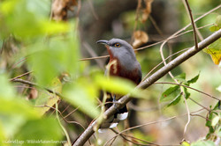 Bay-breasted-Cuckoo-DR-IMG_1245