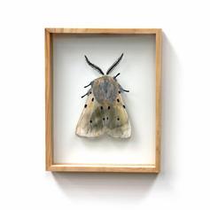 Diaphora mendica, Muslin Moth, MEDIUM SI