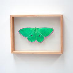 Chlorocoma cadmaria, Spectacular Emerald Moth