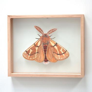Bag Shelter Moth, Ochrogaster lunifer